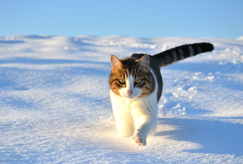 walk snow winter cat wallpaper
