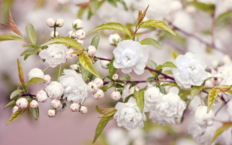 branch bloom buds blossom blossoms wallpaper