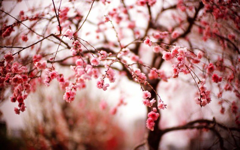 Cherry Blossom Flowers Trees blossoms wallpaper