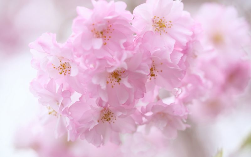 Flower Macro Pink blossoms blossom wallpaper
