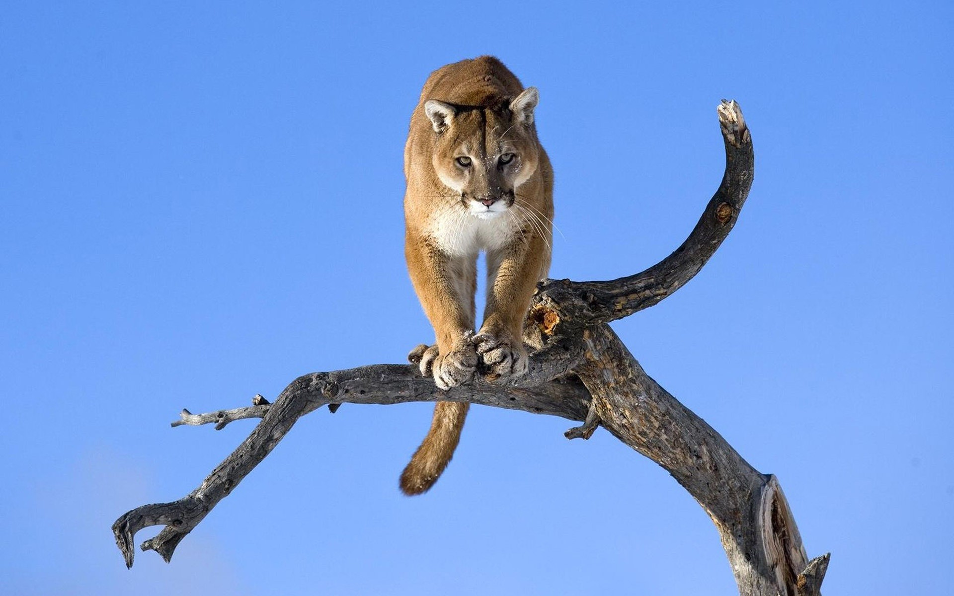 <b>puma cougar mountain</b> lion black and white photo b / w white ...