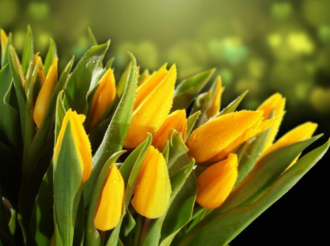 Tulips Yellow Drops Foliage Flowers wallpaper