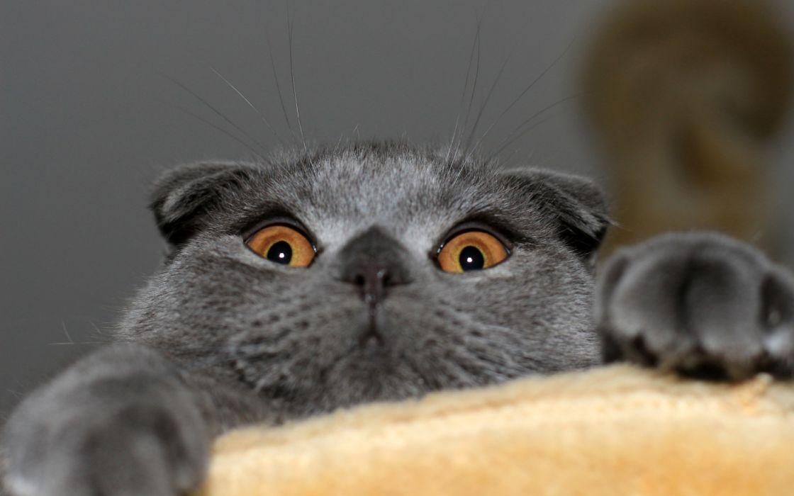 cat scottish fold wallpaper