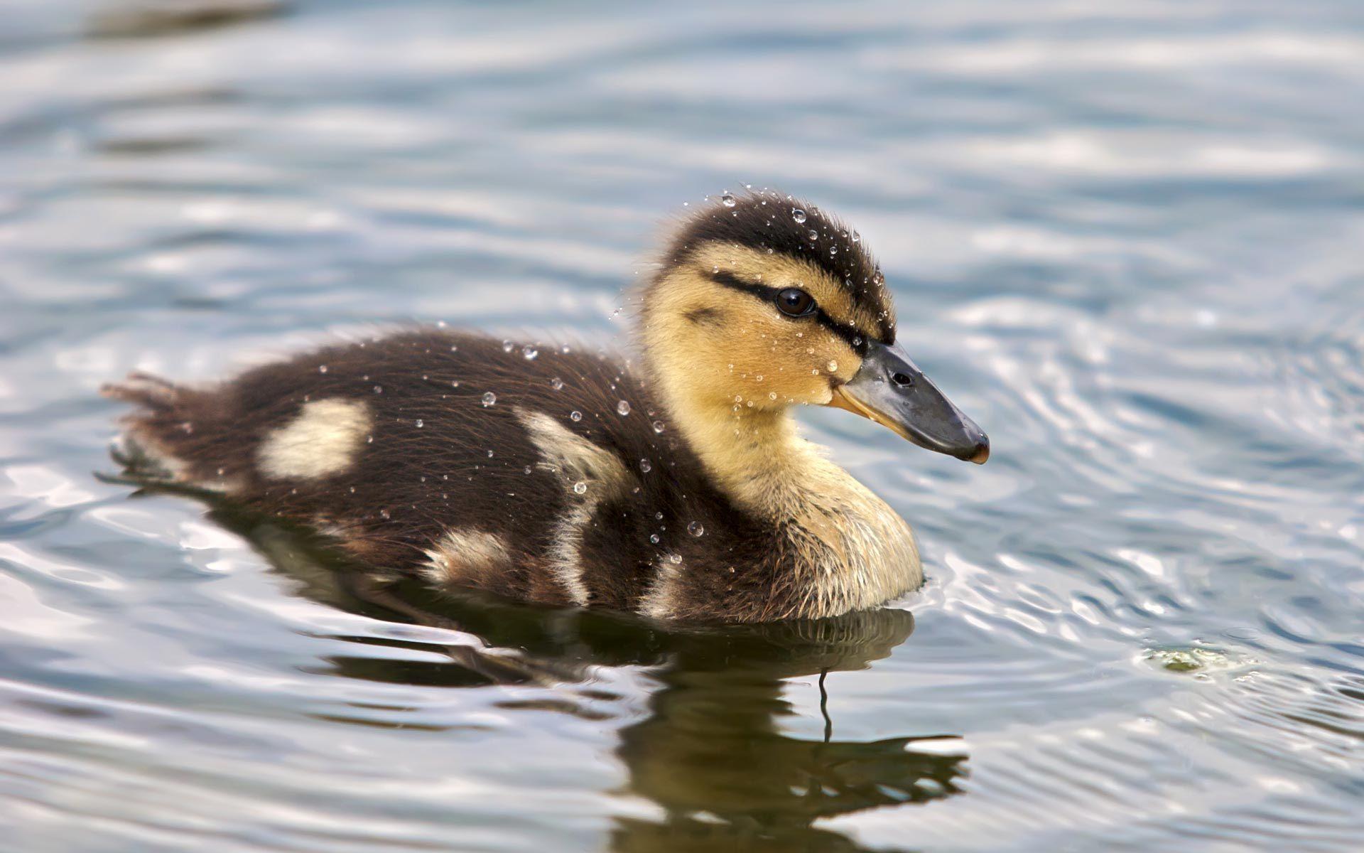 Duckling fluffy feather drop water drops duck wallpaper ...