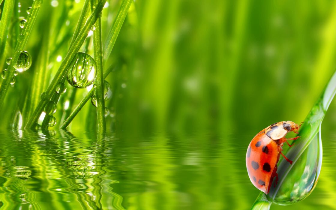 ladybug insect grass water dew morning drop wallpaper