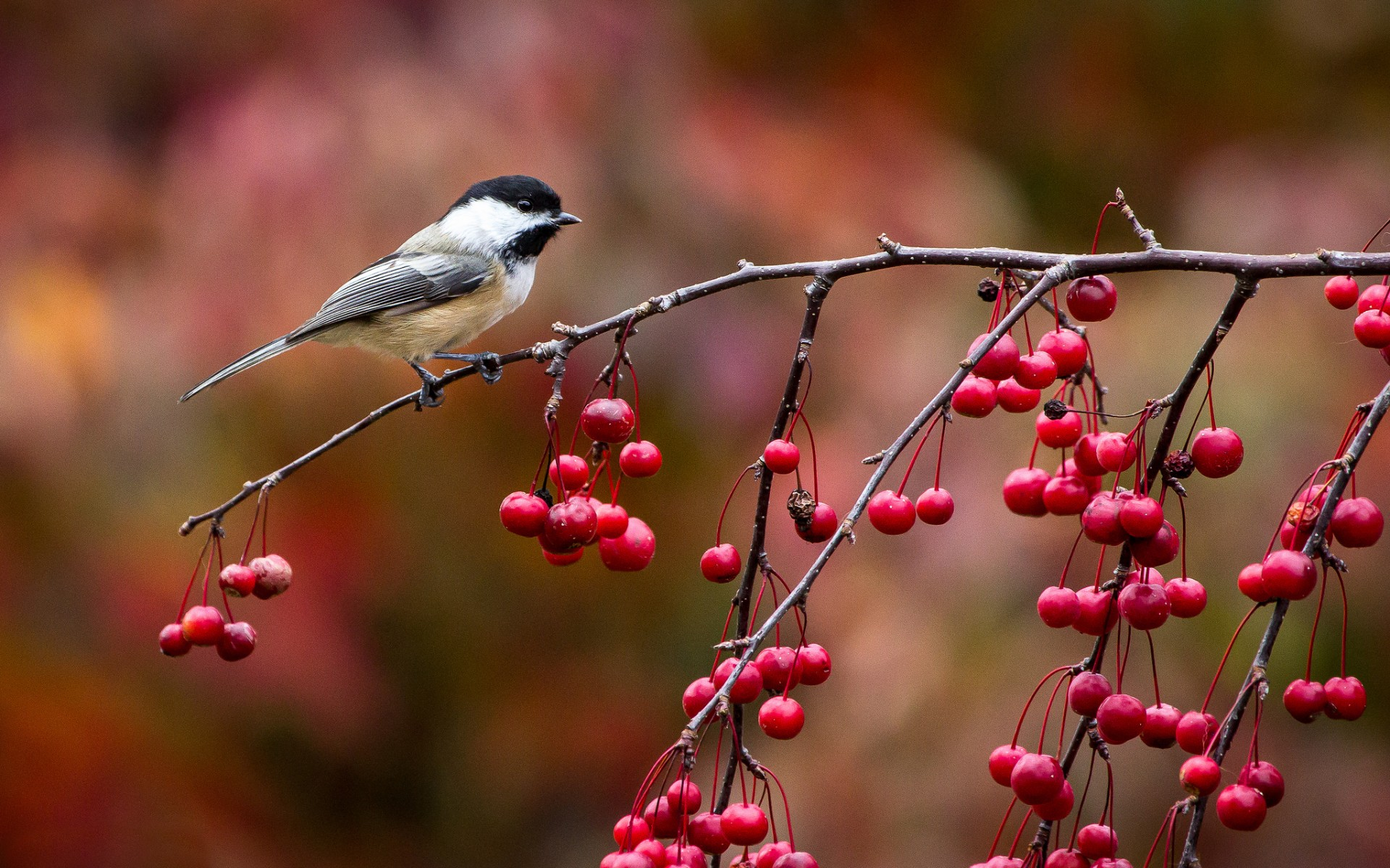 Bird chickadee titmouse twig and berries autumn wallpaper