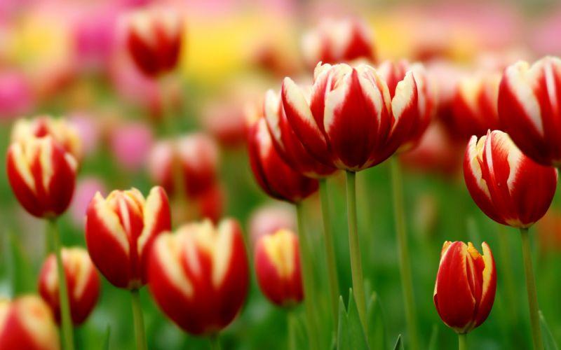 tulips herbs wallpaper