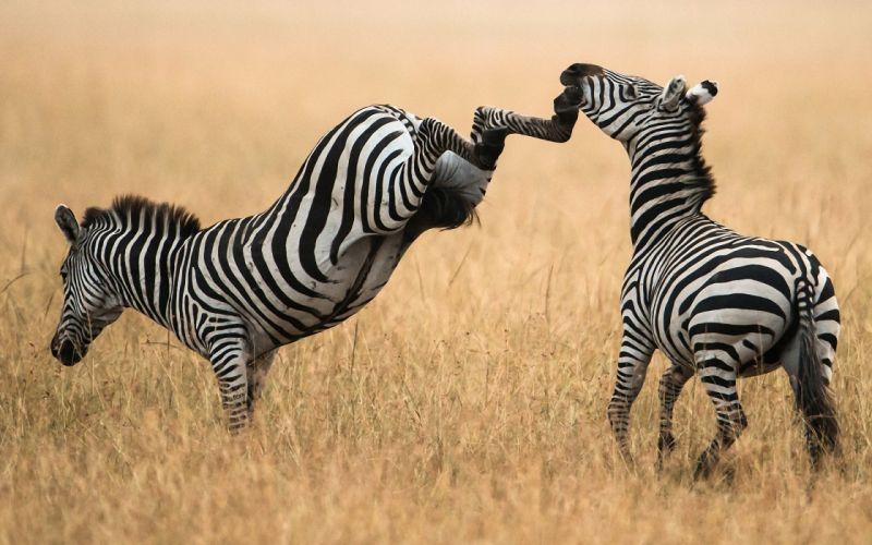 nature zebra grass kick wallpaper