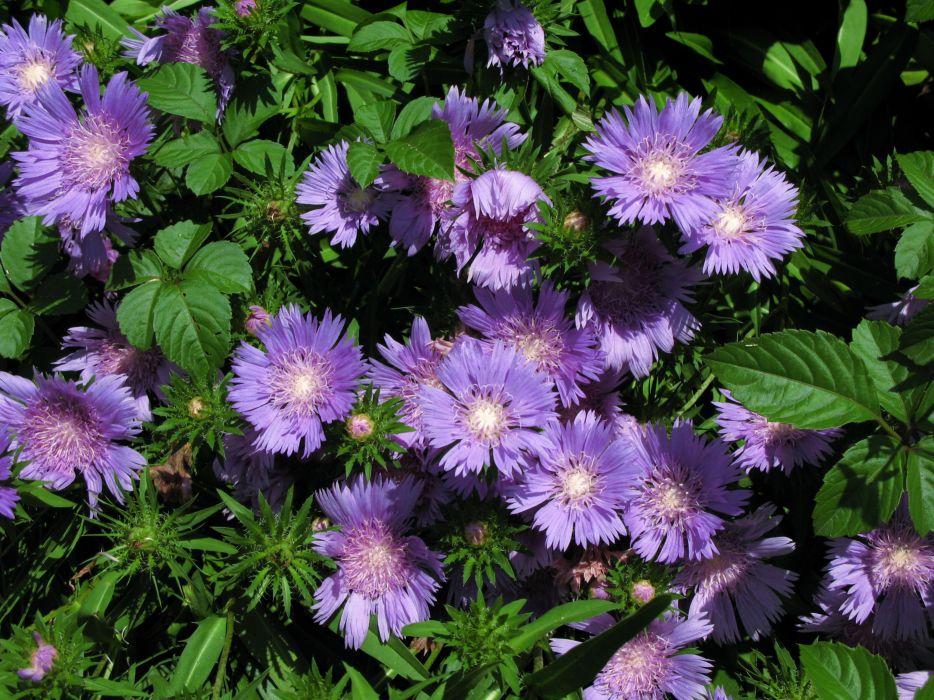 Asters Violet Flowers wallpaper