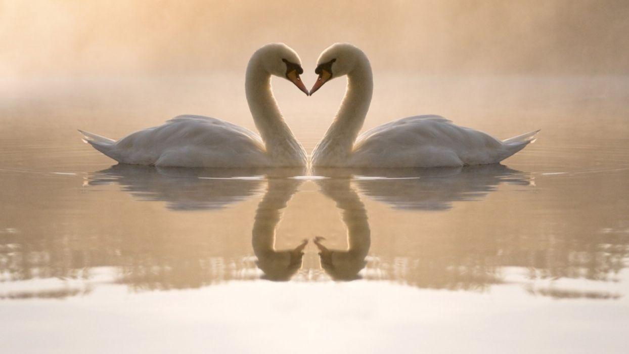 birds love couple white swans wallpaper