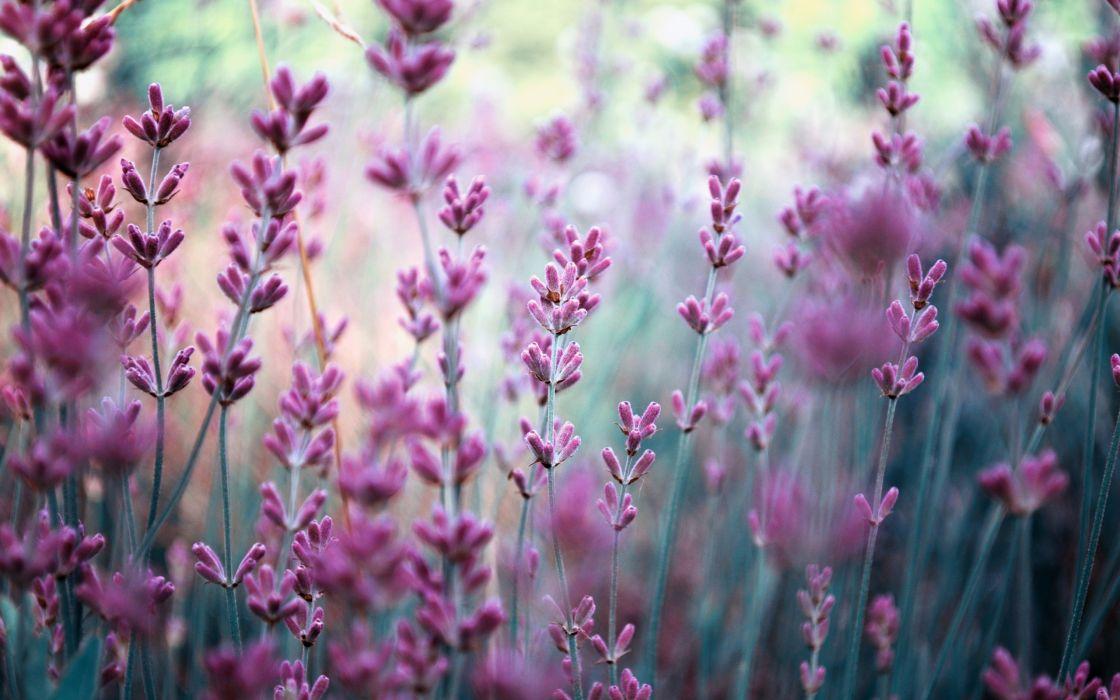field lavender nature blurring purple flowers wallpaper