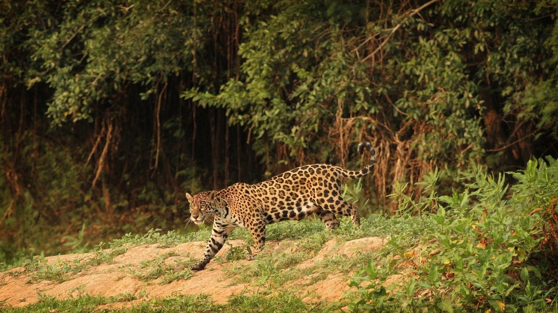 Jaguar wild cat predator wallpaper | 1920x1080 | 76532 ...