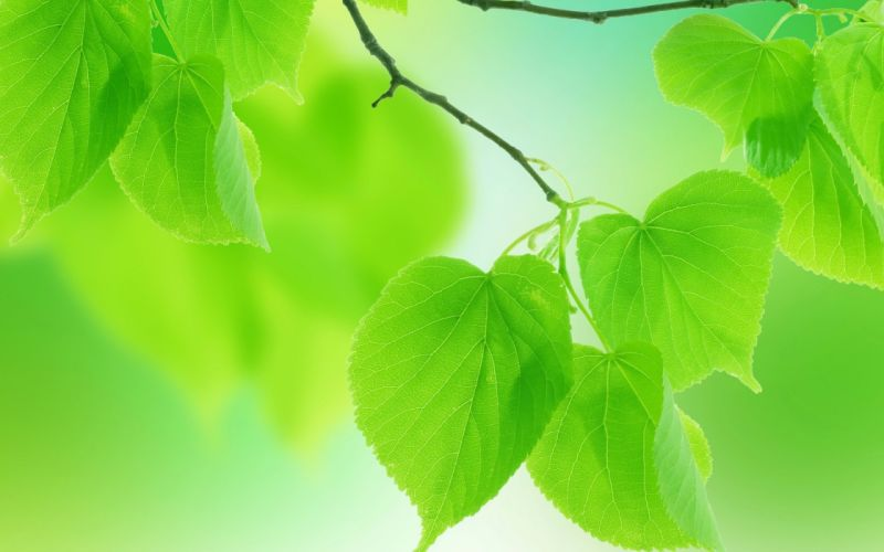 leaves green close-up branch wallpaper