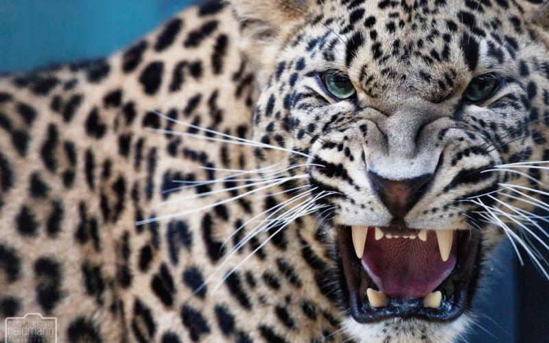 leopard predator jaws teeth wallpaper