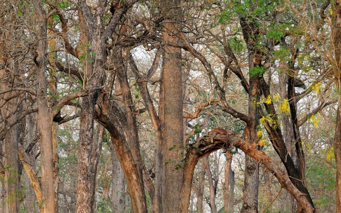 Leopard Wild Cat Camouflage Forest Trees Wallpaper