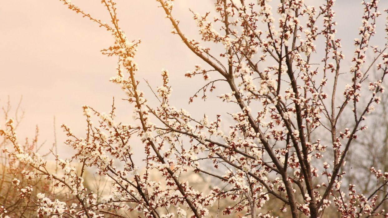 sky skies trees flowers blossoms wallpaper