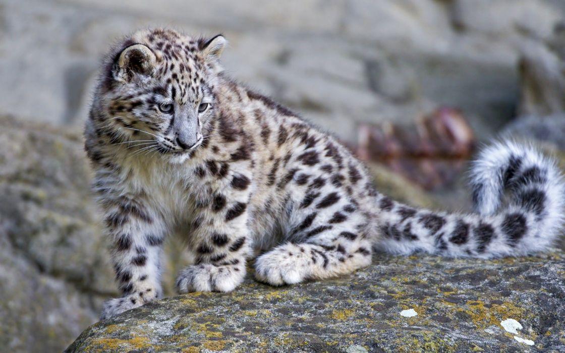 Snow Leopard Baby Rock Wallpaper