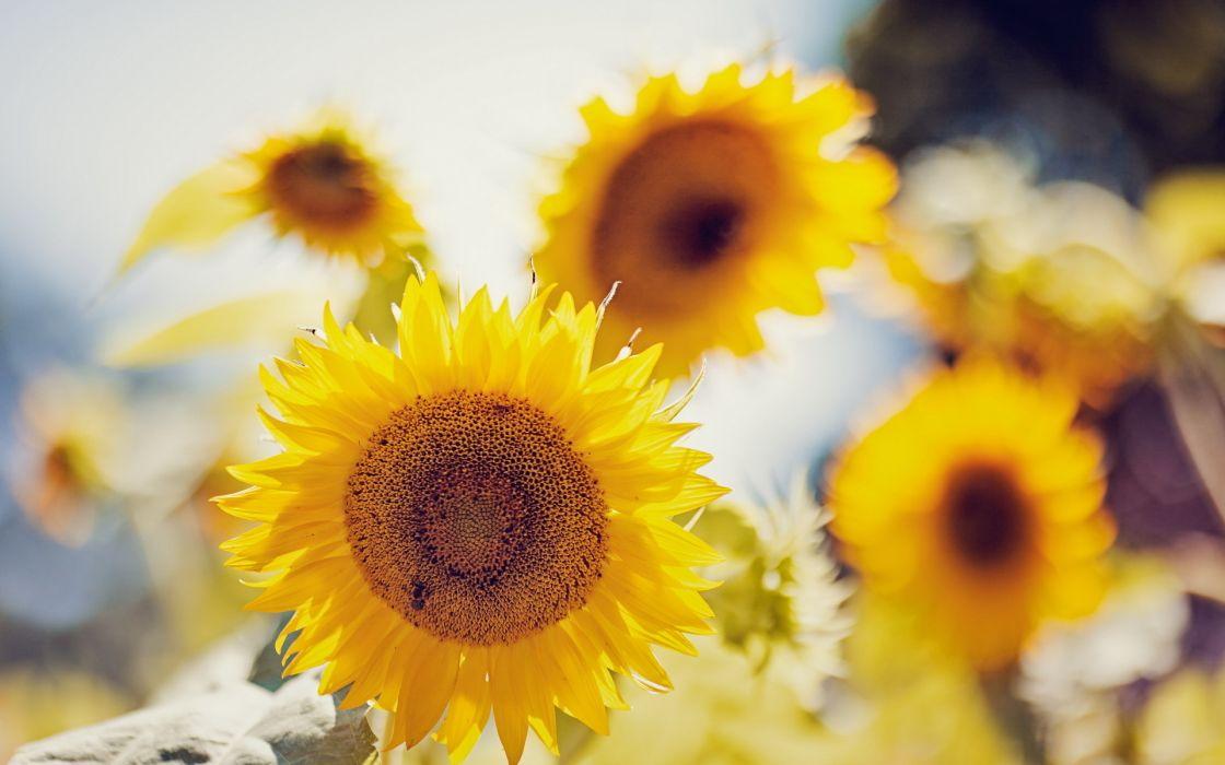 Sunflowers wallpaper summer nature wallpaper
