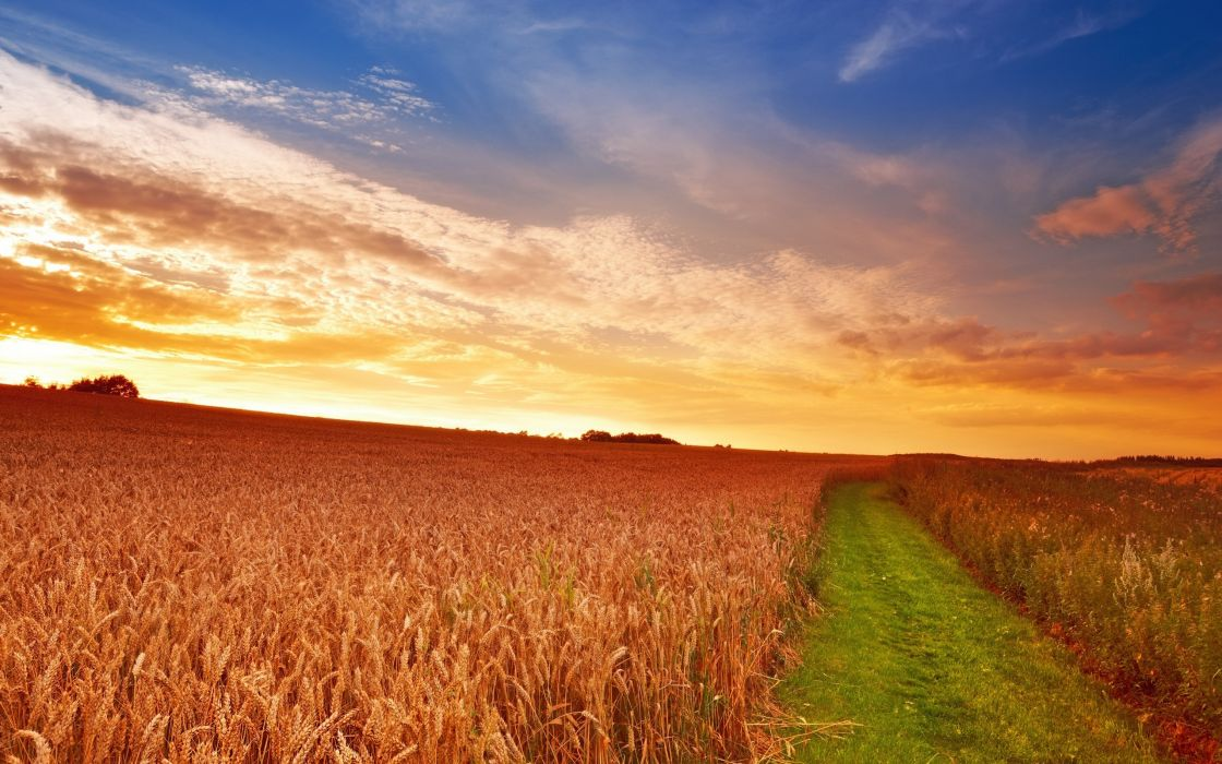 sunset field ears landscape wallpaper