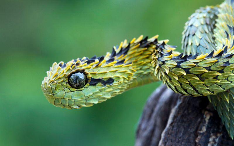 tree viper snake snakes wallpaper
