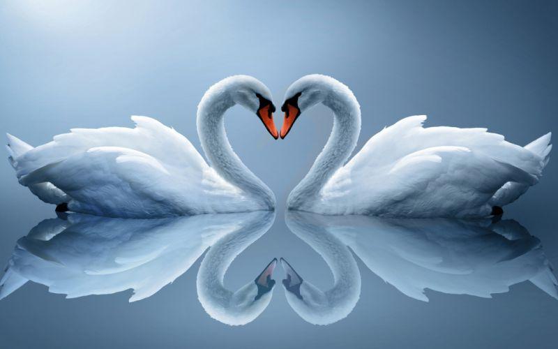 white swans couple heart reflection wallpaper