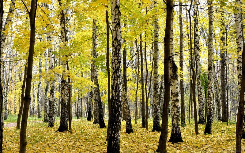 autumn forest nature wallpaper
