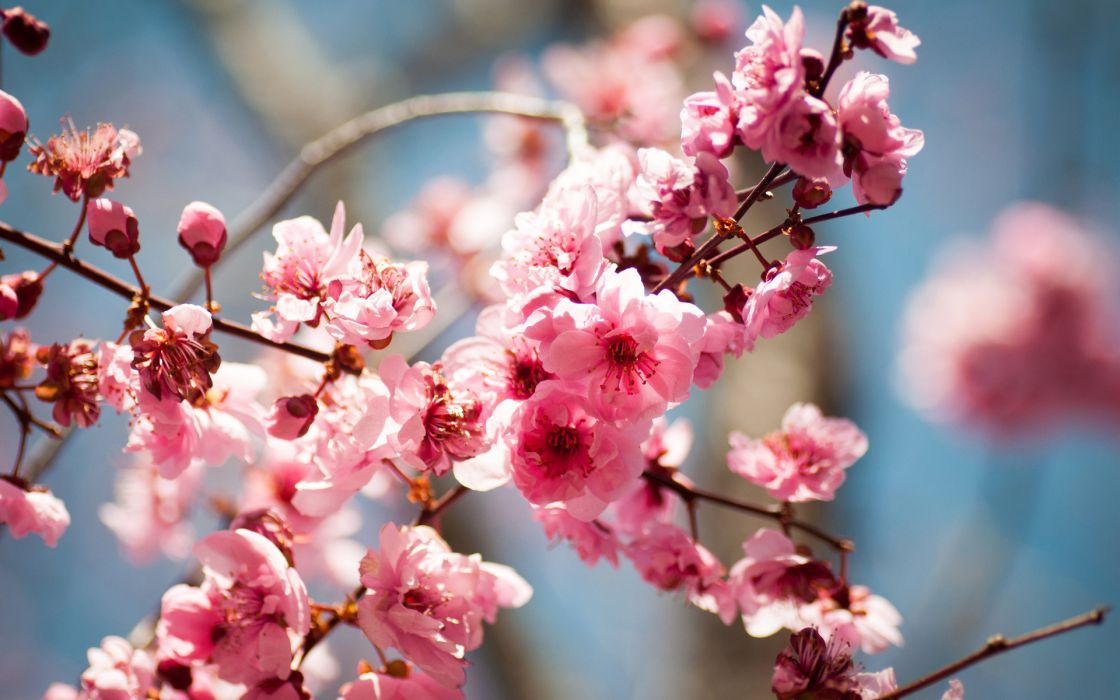 bloom spring tree flowers blossoms wallpaper