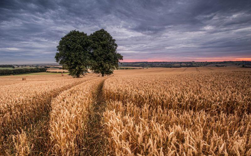 field wheat two trees wallpaper