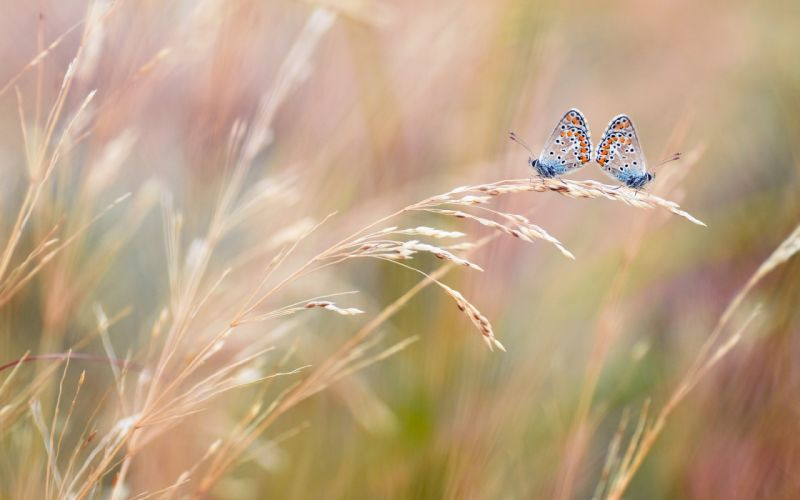 macro ears butterfly field wallpaper