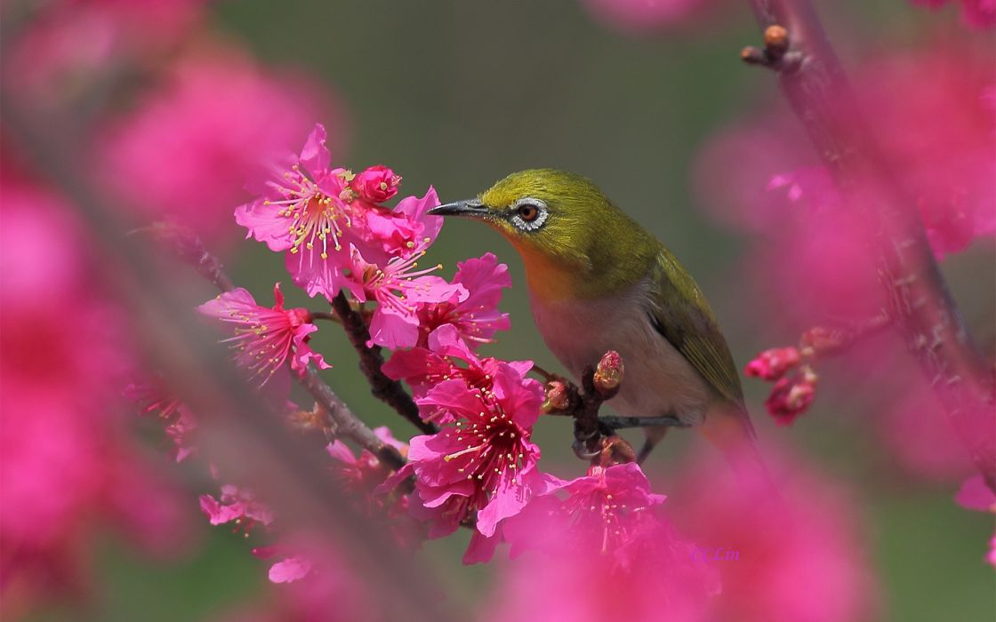 bird tree blossom flower spring pink fruity wallpaper