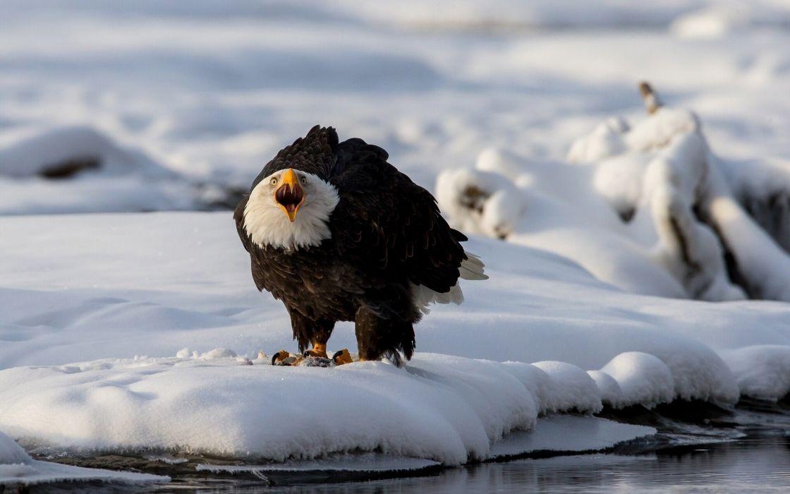 Birds Eagles Bald Eagle Snow Animals wallpaper