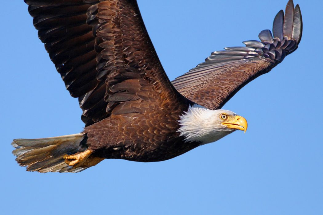 Birds Eagles Flight Wings Bald Eagle Animals      q wallpaper