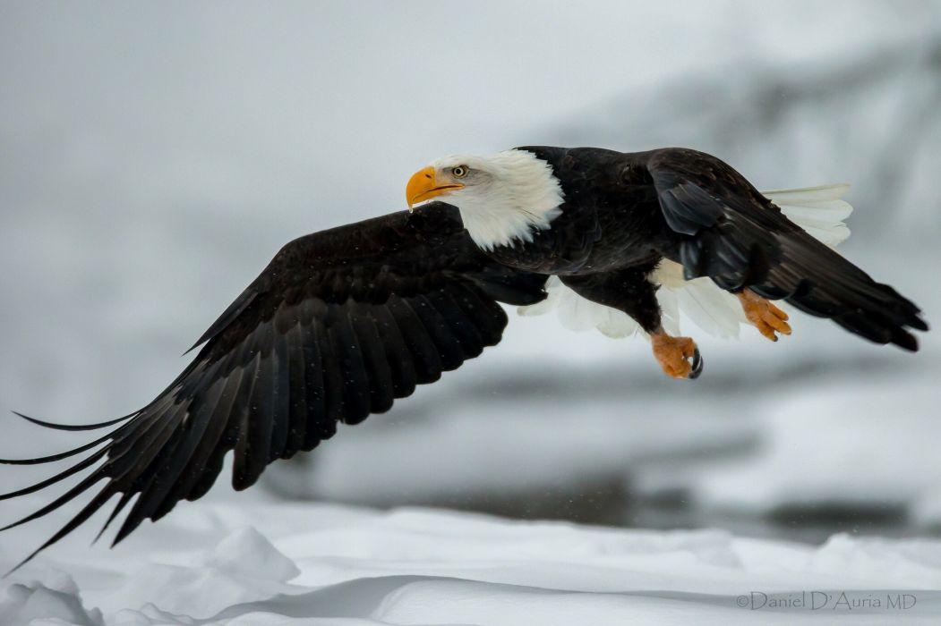 Birds Eagles Flight Wings Bald Eagle Animals wallpaper