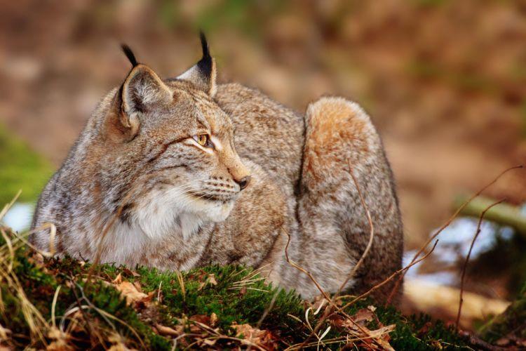 cats Lynx wallpaper