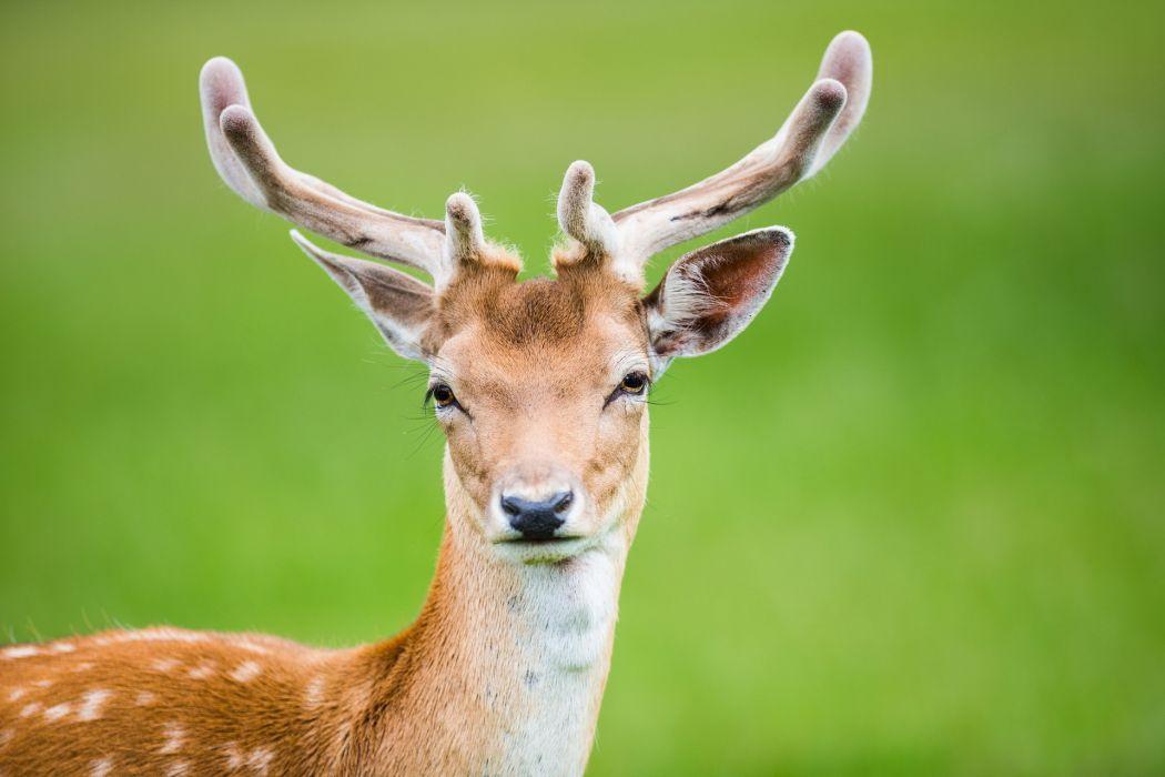 deer  nature wallpaper