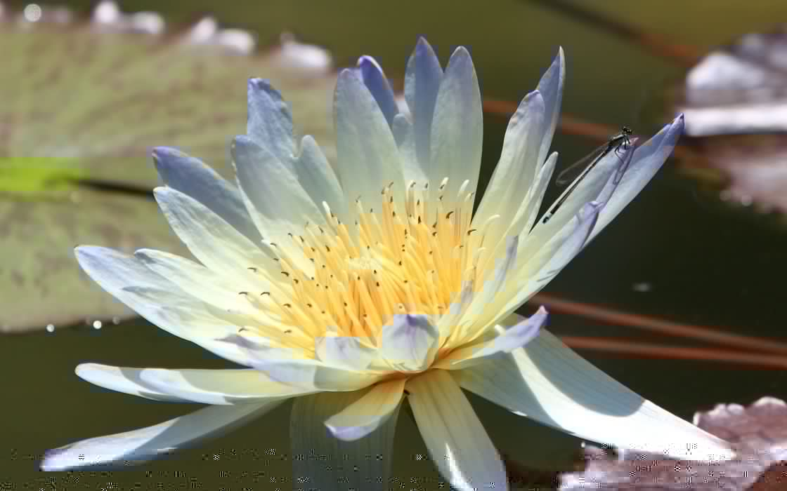 flower  petals  water lily wallpaper