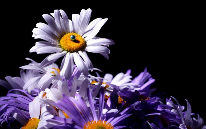 flowers chrysanthemum bokeh wallpaper