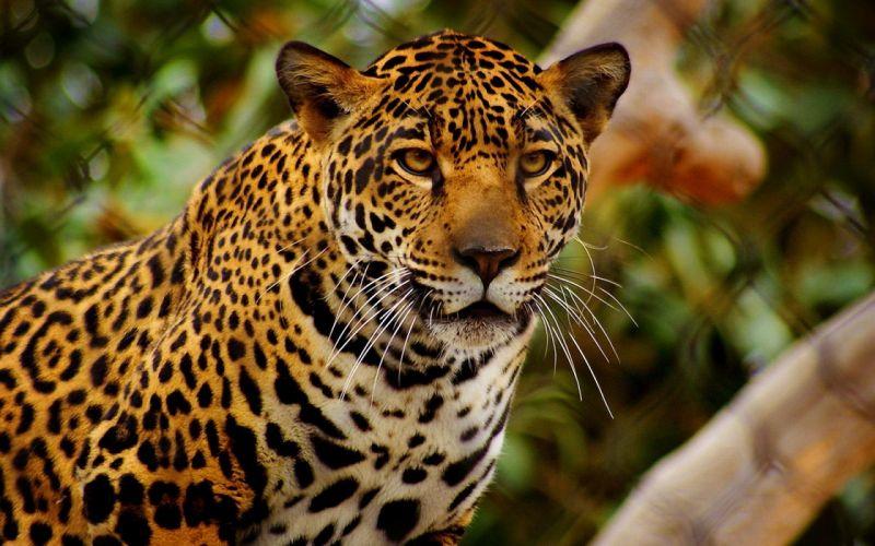 Jaguars Glance Animals w wallpaper