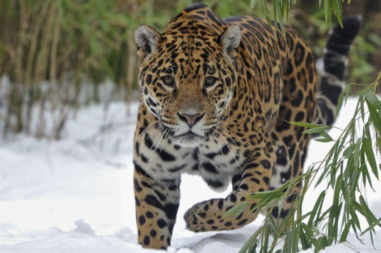 Jaguars Glance Animals wallpaper