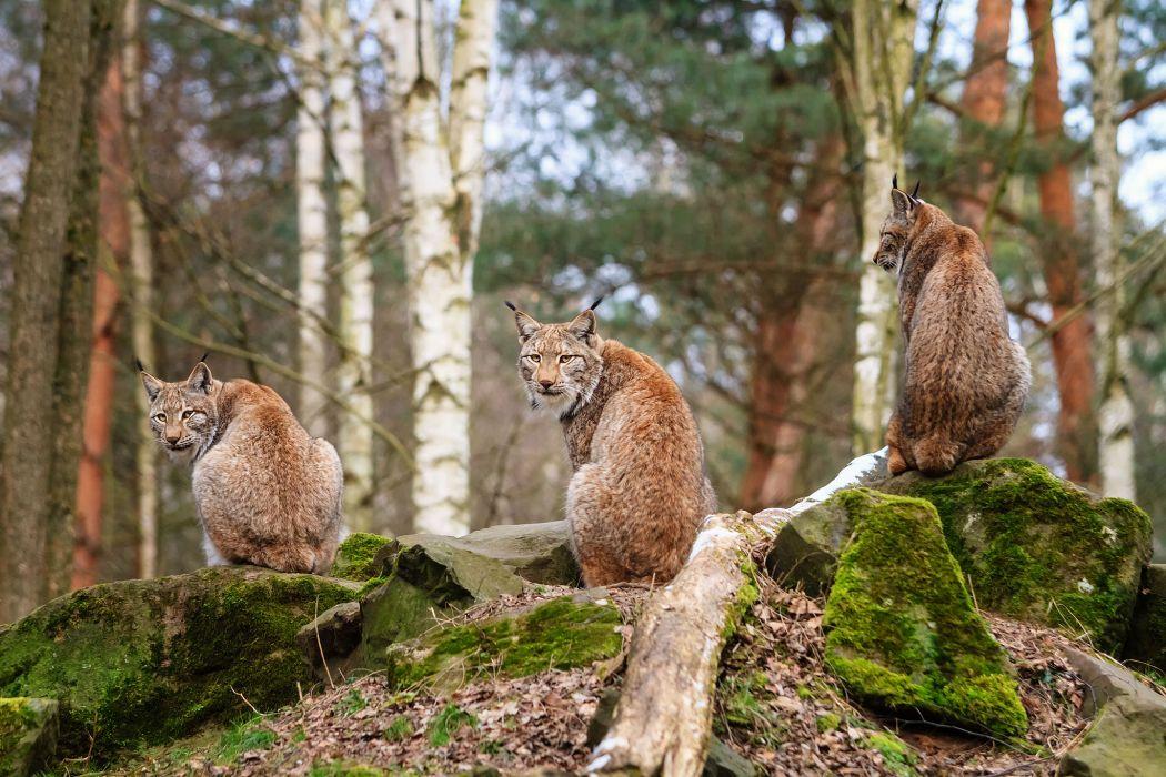 Lynx Stones Moss Animals      q wallpaper