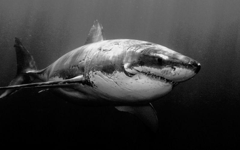 white animals sharks grayscale underwater wallpaper