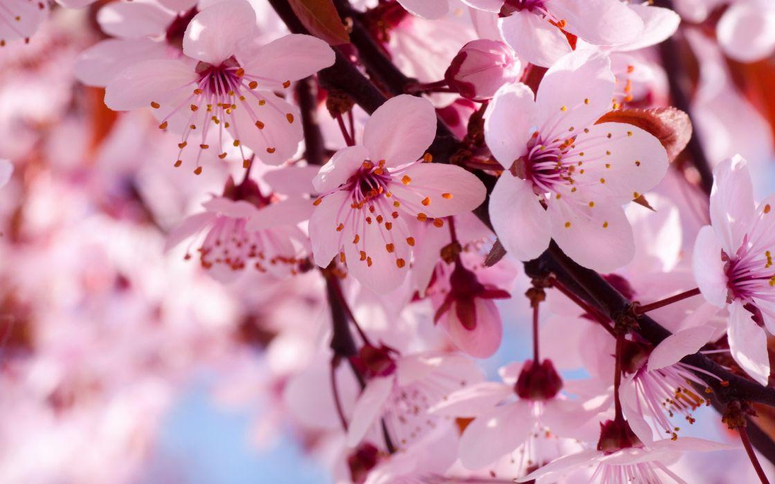 cherry flowers branch spring blossom blossoms wallpaper
