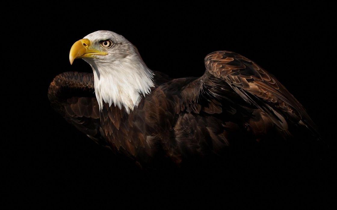 eagles animals eagle wallpaper