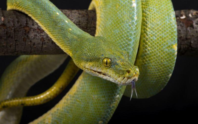 eyes scales tongue green snake wallpaper