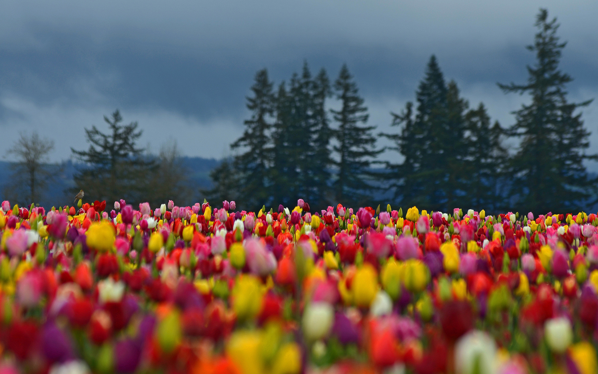 Flowers field tulips colorful forest trees spruce ...