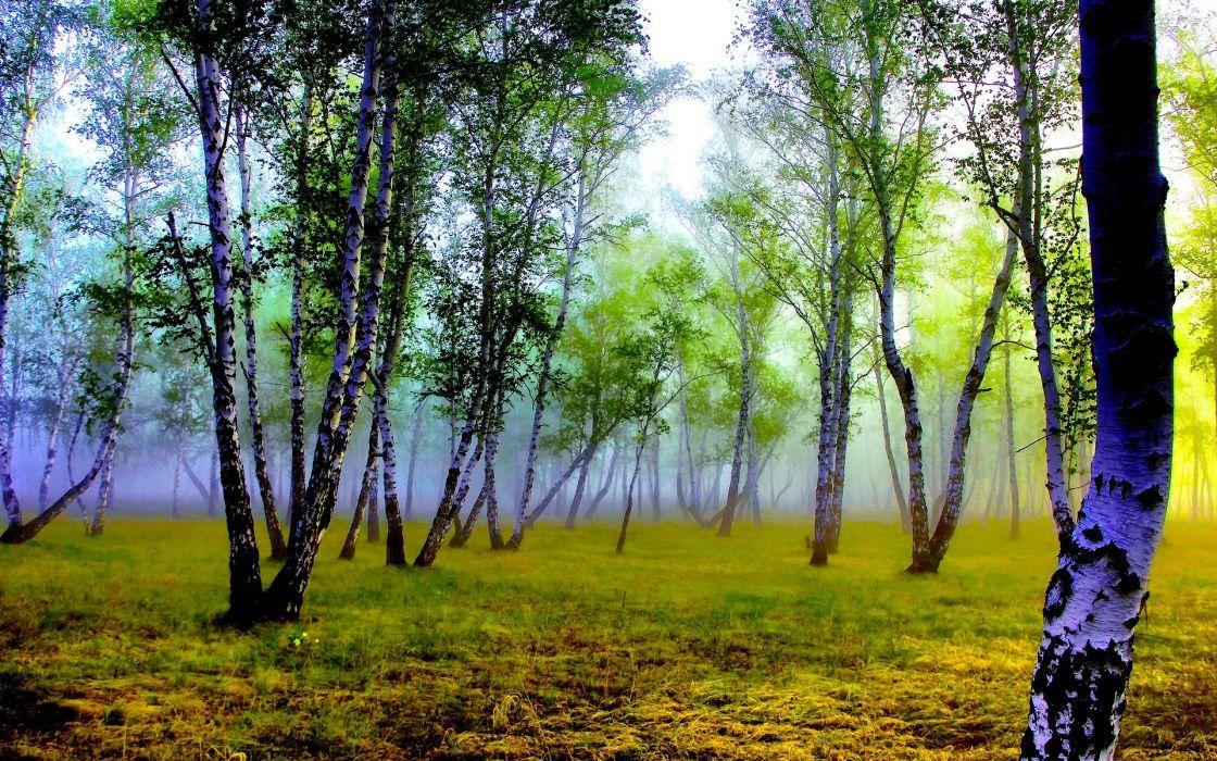 FOREST  TREES  GRASS  FOG  BIRCH  TRUNK wallpaper