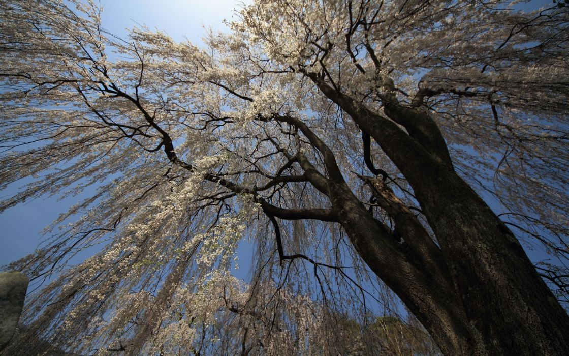 nature tree branches flowers the sky wallpaper