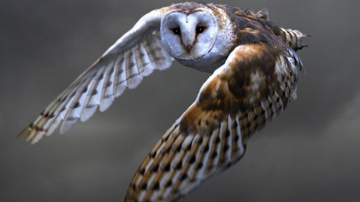 Owl Bird     w wallpaper