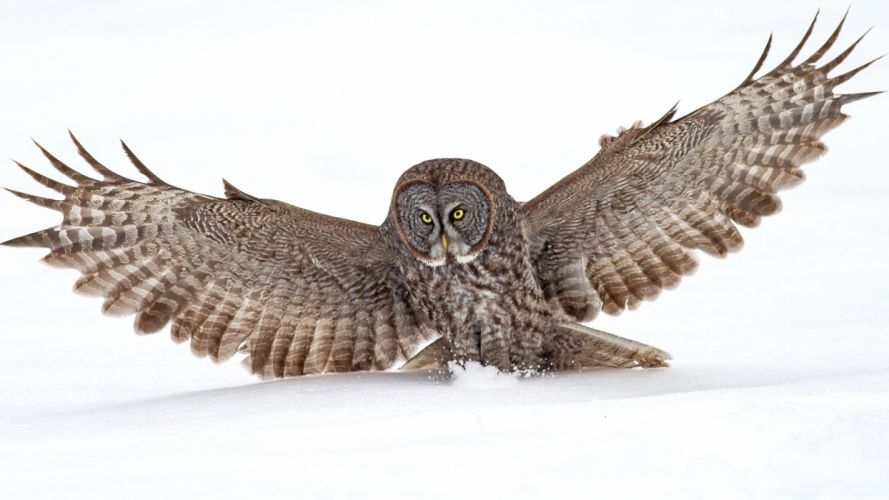 Owl Bird Snow f wallpaper