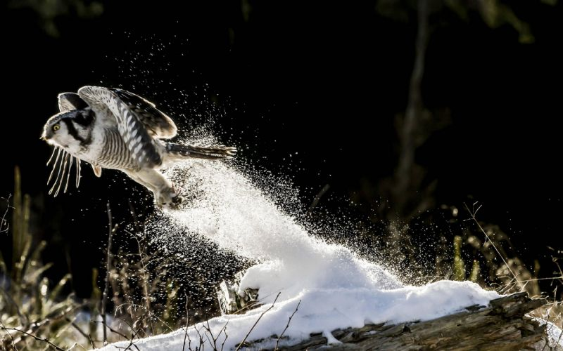 Owl Bird Snow wallpaper